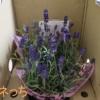 母の日 鉢植え「癒しの天然アロマ ラベンダー アロマティコ」
